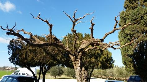 Giardiniere a Macerata, Potatura alberi, Potatura moro