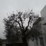 Potatura olivi Macerata, Giardiniere a Macerata, Giardinaggio Macerata