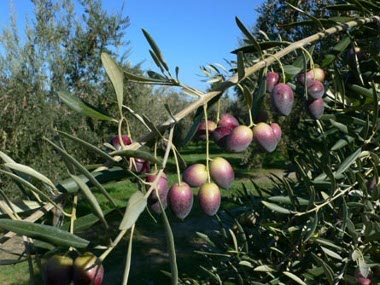 Potatura Olivi, Giardiniere a Macerata