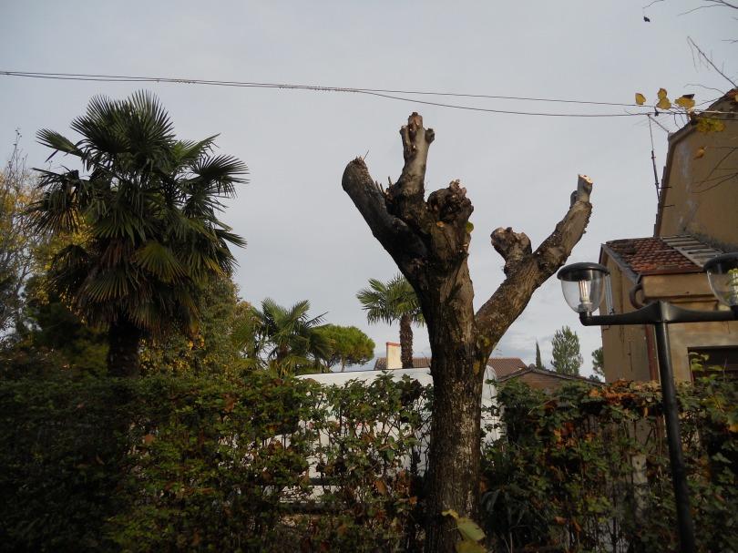 Giardiniere a Macerata, Potatura alberi (Tiglio)