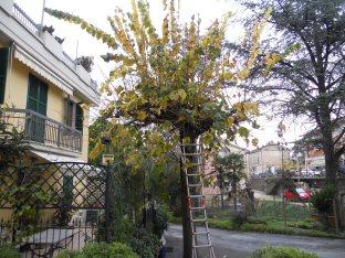 Giardiniere a Macerata, Potatura tiglio